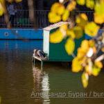 Дом для уток и утят в середине пруда в парке