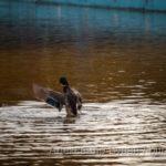 Утка взлетает с воды пруда в осеннем парке