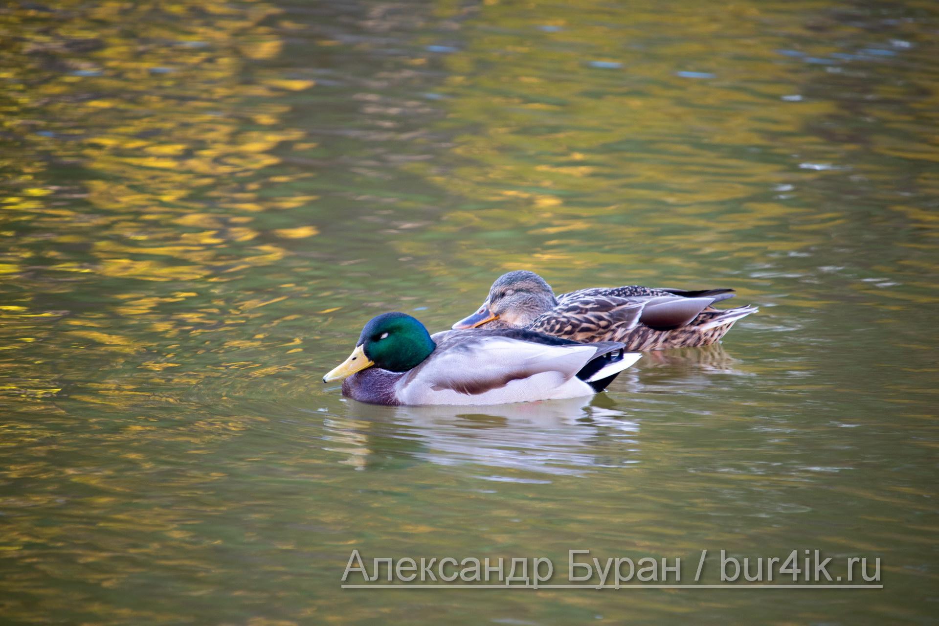 Утка с duckteenager плавает в озере