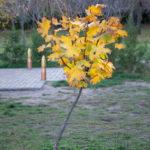 Небольшое дерево с желтыми листьями в осеннем парке