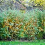 Плотные кусты с листьями необычного цвета в осеннем парке