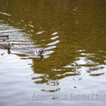 Утки плавают в пруду осеннем парке