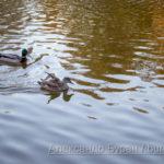 Утка и утенок в воде осеннего пруда парка