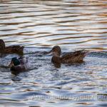 Утка и два подросших утят плавают в пруду