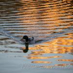 Утка плывет в закат и листья, волны на воде