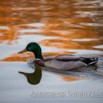 Утка плывет в закат и листья отражение и волны на воде