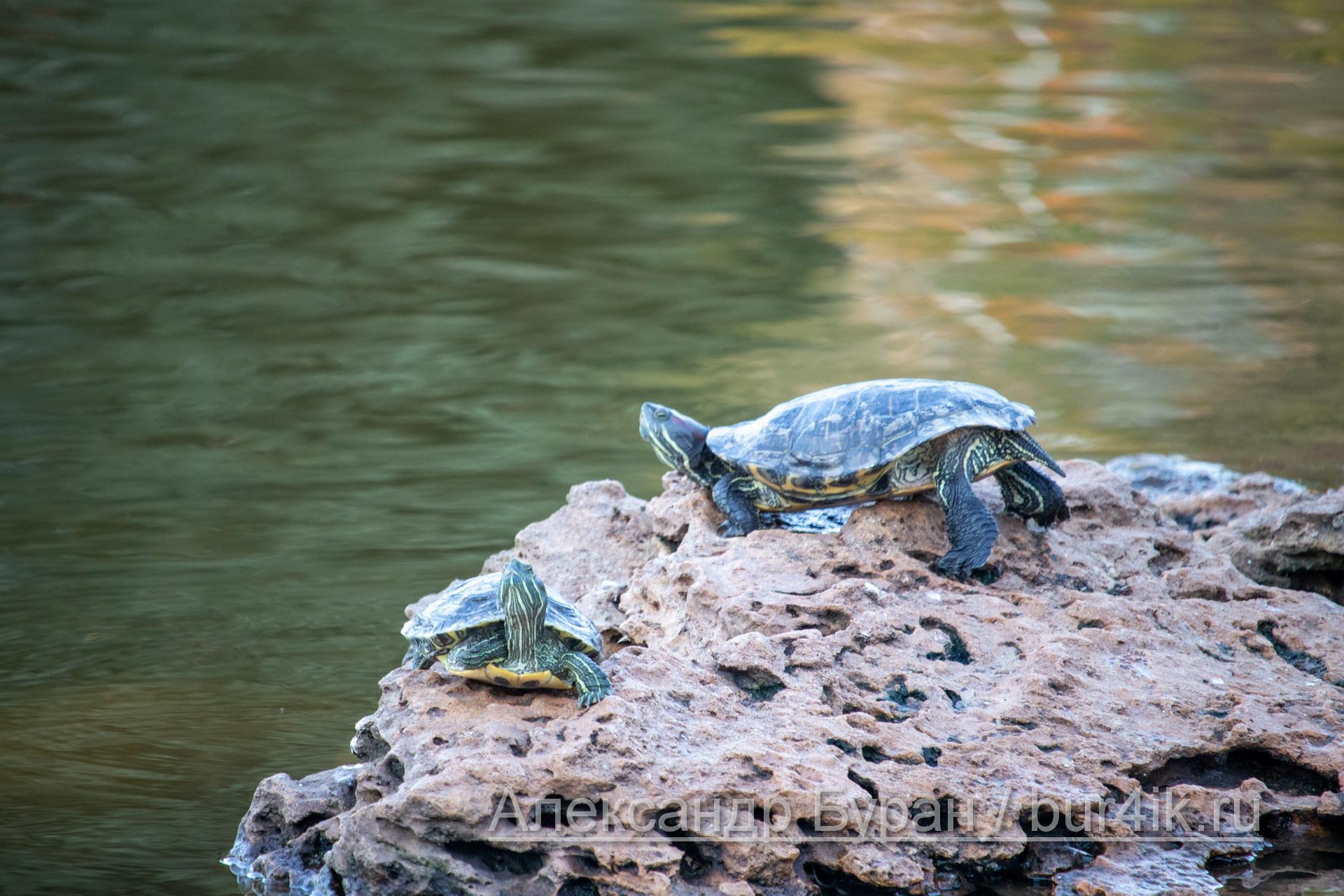 Две черепашки греются на камне в пруду